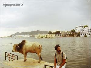 Las vacas son sagradas para los hinduistas - Udaipur