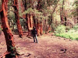 Bosque de los Arrayanes en Bariloche
